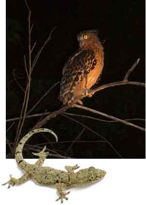 owl and gecko  - night vision